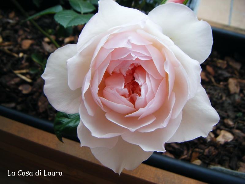 Jane austen rose inglesi e punto croce for Rose inglesi